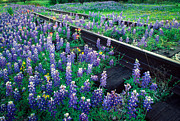 Bluebonnet Wildflowers Posters - Bluebonnet Rails Poster by Inge Johnsson