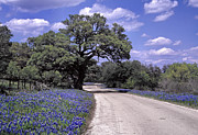 Fredericksburg Posters - Bluebonnet Road Poster by David and Carol Kelly