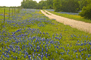 Texas Wildflowers Posters - Bluebonnet Trail Poster by  Robert Anschutz