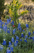 Debbie Karnes - Bluebonnets and Barbed...