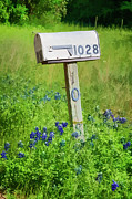 Texas Wild Flowers Prints - Bluebonnets and Mailbox Print by Joan Carroll