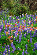 Bluebonnet Wildflowers Posters - Bluebonnets and Paintbrush Poster by Inge Johnsson