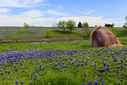 Carrie OBrien Sibley - Bluebonnets in full bloom
