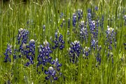 Linda Unger - Bluebonnets in the Grass