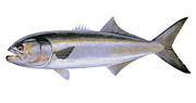 Striped Marlin Prints - Bluefish Print by Carey Chen