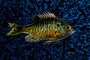 Bluegill Digital Art - Bluegill - 9882 F by James Ahn