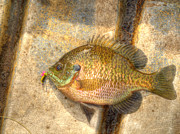 Bluegill Framed Prints - Bluegill In HDR Framed Print by Thomas Young