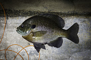 Spawning Prints - Bluegill Print by Thomas Young