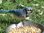 Feeding Mixed Media - BlueJay Feeding by Connie Dye