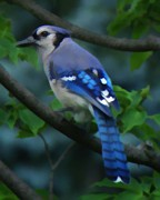 Bluejay Digital Art Posters - Bluejay Poster by John Feiser