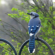 Bluejay Metal Prints - Bluejay Posing Metal Print by Sandra LaFaut