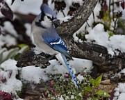 Bluejay Metal Prints - Bluejay Snow P10 Metal Print by Rae Ann Garrett