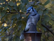 Bluejay Metal Prints - Bluejay Torch Metal Print by Rae Ann Garrett