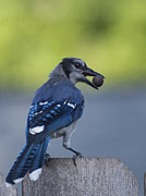 Crowley Lake Art - Bluejay with Acorn by D Wallace