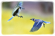 Dan Friend - Bluejays flying past each other