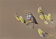 Daniel Behm Art - Bluethroat by Daniel Behm