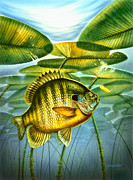 Blugill And Lilypads Print by Jon Q Wright
