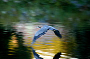 Herons Photos - Blurred Heron Sunset  by Neal  Eslinger