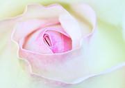 Blushed Rose Print by Sabrina L Ryan