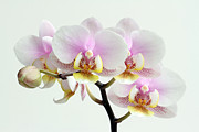 Glowing Floral Prints - Blushing Orchids Print by Juergen Roth