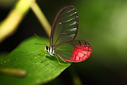 Amazon - Blushing Phantom butterfly by James Brunker