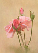 Roses Prints - Blushing Pink Print by Angie Vogel