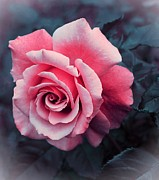 Blushing Posters - Blushing Rose Poster by Barbara Griffin