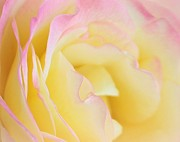 Pastel Photos - Blushing Rose by Sweet Moments Photography