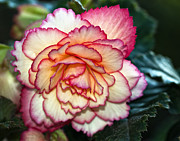Begonia Photos - Blushing by Steve Harrington