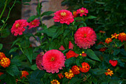 Zinnias Digital Art - Blushing Zinnias by Carolyn Krek