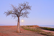 Australian Photos - Boab Tree and Moonrise at Broome Western Australia by Colin and Linda McKie