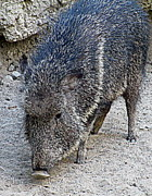 Boar Photos - Boar by Randall Weidner