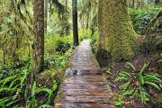 British Columbia Posters - Boardwalk On The Rainforest Trail In Poster by Ken Gillespie