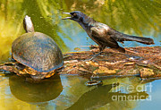 Conversations Art - Boat Tailed Grackle Talking To A Turtle by Millard H. Sharp