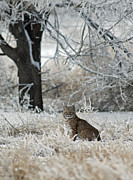 Bobcat And Heavy Frost Print by Gary Langley