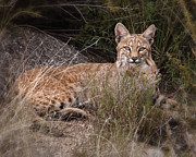 Bobcat Photo Posters - Bobcat at Rest Poster by Alan Toepfer