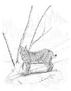 Pen And Ink Wildcat Drawings Framed Prints - Bobcat Framed Print by Carl Genovese