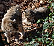Photos Of Cats Framed Prints - Bobcat Couple Framed Print by Eva Thomas
