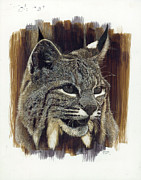 Seattle Drawings - Bobcat  by Don Winsor