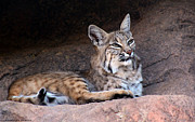 Bobcats Photo Prints - Bobcat Print by Elaine Malott