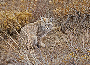 Tufted Ears Prints - Bobcat in Brush Print by James Futterer