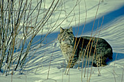 Bobcat Framed Prints - Bobcat In Snow Framed Print by Eric Albright