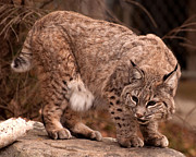 Bobcat Originals - Bobcat  by Joseph  Kubic