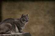 Bobcat Photos - Bobcat by Kathy Rinker