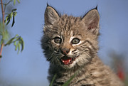 Bobcat Photo Framed Prints - Bobcat Kitten Framed Print by Tim Fitzharris
