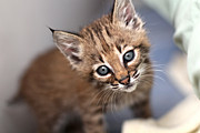Bobcat Kitten Photos - Bobcat Kitty by Wendi Matson