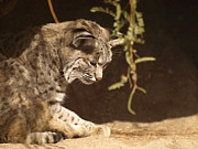 Bobcats Prints - Bobcat Print by Melissa Peterson