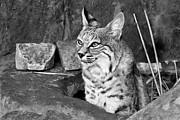 Bobcat Print by Nikolyn McDonald