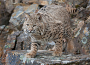 Lynx Rufus Digital Art Prints - Bobcat on Rock Print by Jerry Fornarotto