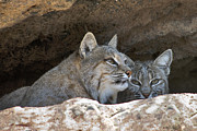 Bobcat Originals - Bobcat Pair by Paul Riedinger